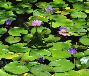 florida-lily-pads-amy-warnke