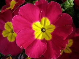 primrose-flower-12